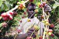 La Caistab veut davantage intéresser les jeunes à la filière café-cacao. © D.R.
