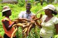 Les virus du manioc menacent la sécurité alimentaire. © USAID