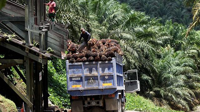 Les plantations de palmiers à huile d'Olam seraient le principal moteur de la déforestation au Gabon, celles-ci résultant de la conversion des surfaces forestières en superficies agricoles. © farmlandgrab.org