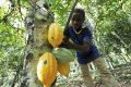 Seulement 20 tonnes de cacao ont été achetées par la Caistab aux planteurs du département du Ntem (illustration). © Caistab-Gabon