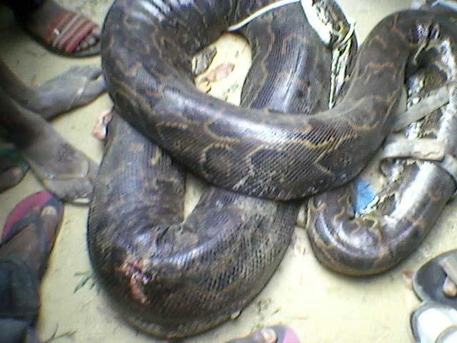 Gabonreview.com - Le serpent de plus de deux mètres de long chassé et tué à Plein Ciel, à Libreville - © D.R.