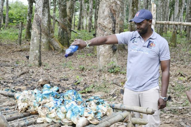 Un agent de Siat versant le colorant bleu sur l'hévéa. © Gabonreview